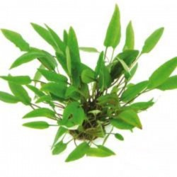 CRYPTOCORYNE AFFINIS DENNERLE - le pot