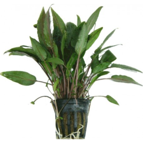 CRYPTOCORYNE BECKETTII - les 2 pots