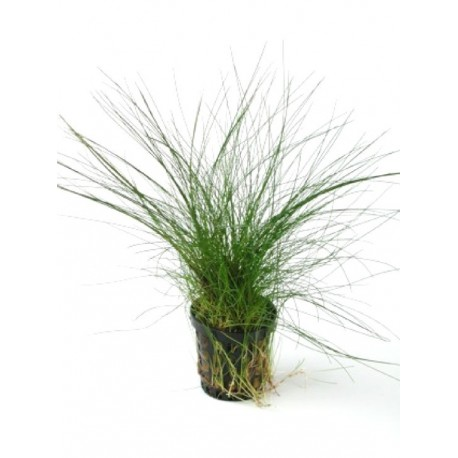 how to grow eleocharis acicularis
