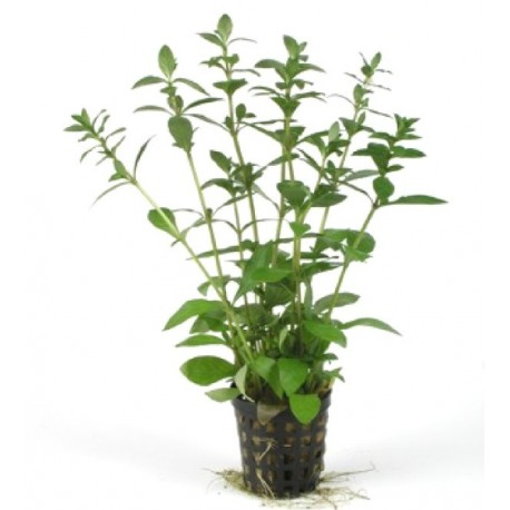 HYGROPHILA POLYSPERMA - les 2 pots