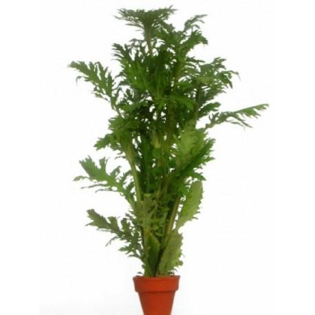 HYGROPHILA DIFFORMIS - les 2 bouquets