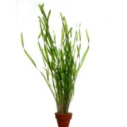 VALLISNERIA TORTA - les 2 bouquets