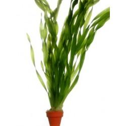 VALLISNERIA ASIATICA - les 2 bouquets